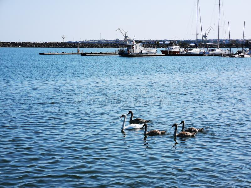 Swan and her chicks on sea port stock photo