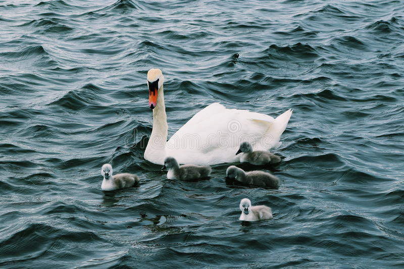 Swan and her Signets stock photos