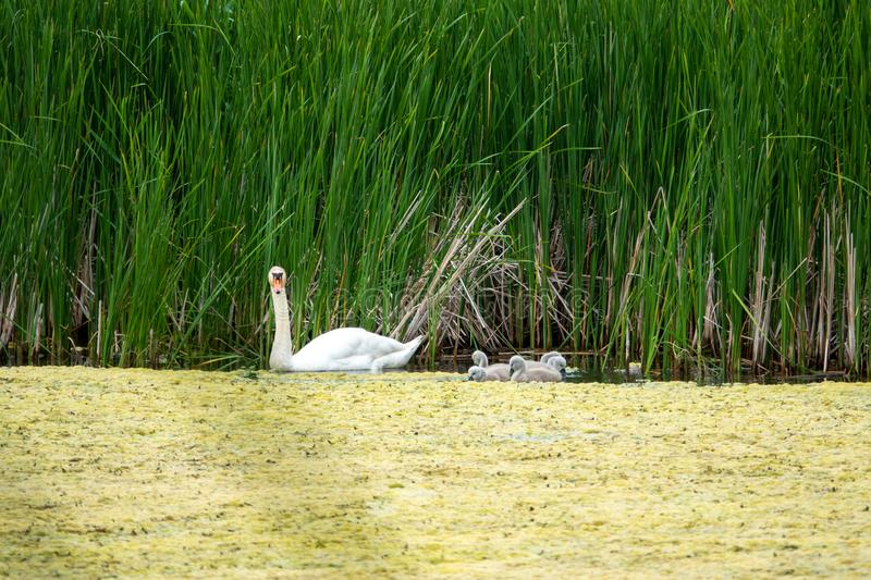 swan and his offspring go on an excursion on the lake stock photo