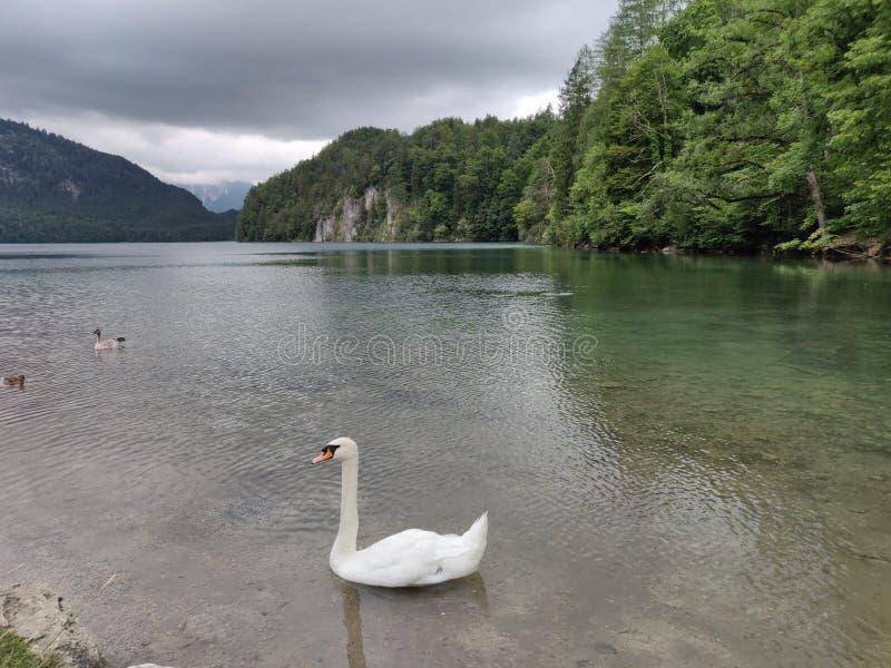Swan i Bayerisjön royaltyfri bild