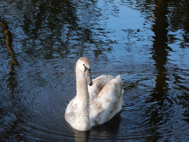 Swan i bevattna arkivbilder