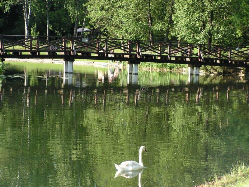 Swan i damm Landskapomr?de i str?larna av inst?llningssolen royaltyfria bilder