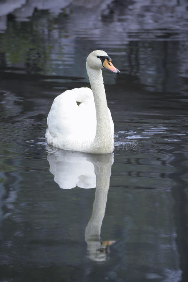Free Swan In Pond Royalty Free Stock Photography - 14362917