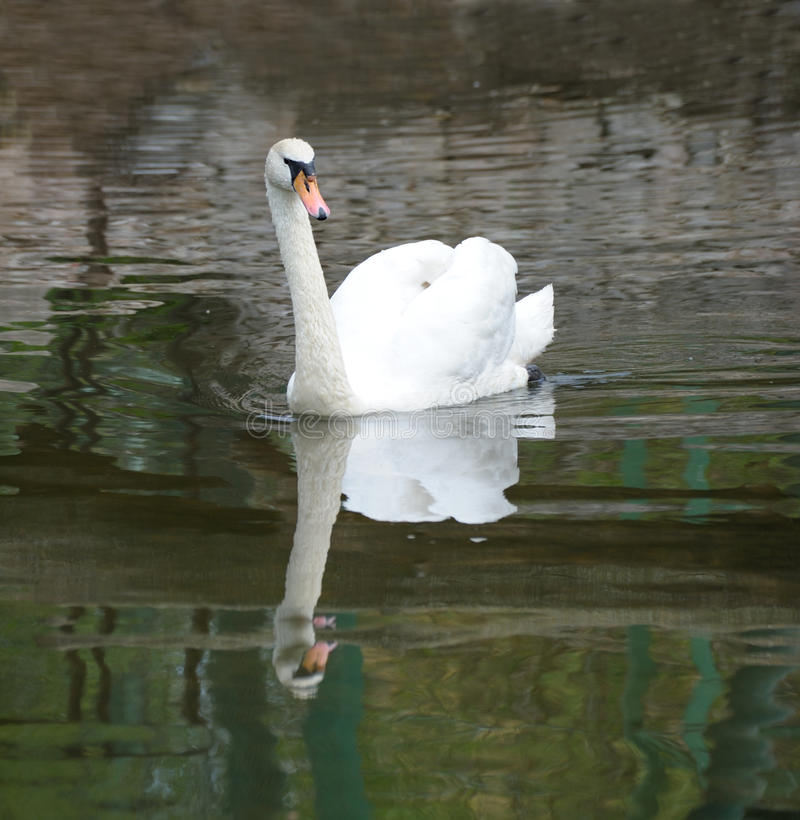 Free Swan In Pond Royalty Free Stock Photos - 14445308