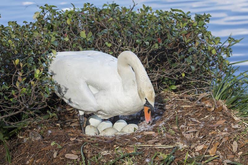 Swan Incubation royalty free stock photo