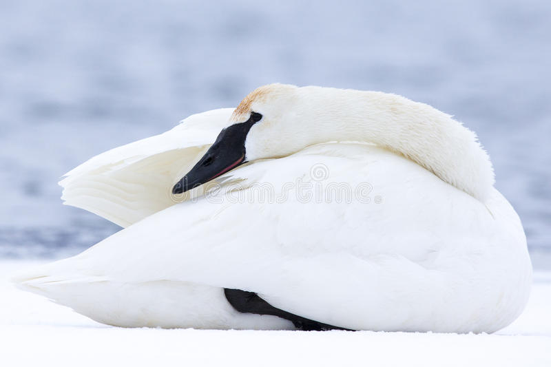 Swan keeping warm in winter stock photos