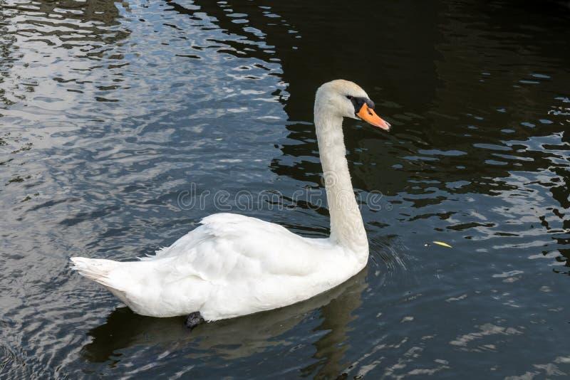 Swan on the Kennet and Avon Canal near Aldermaston Berkshire stock photo