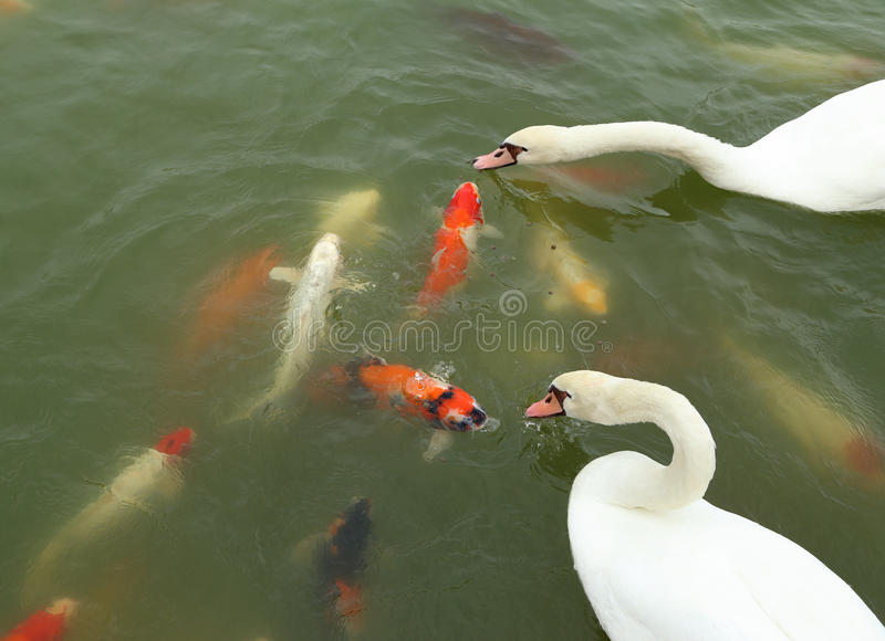 Swan with koi fish swimming in pond stock image image for Dream of fish swimming