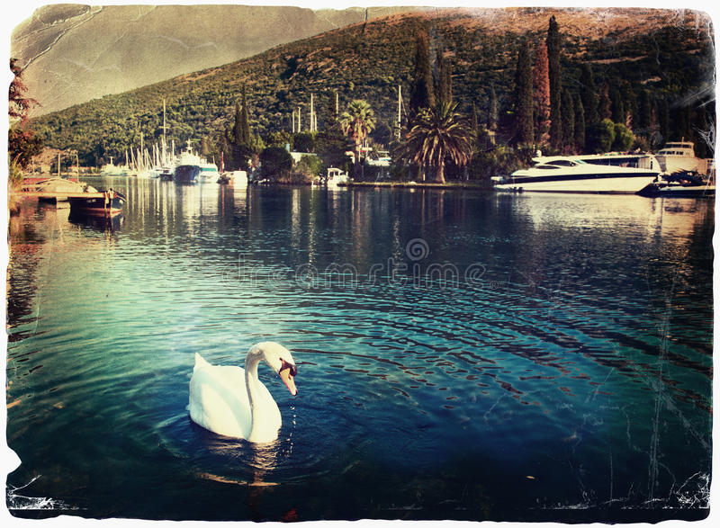 Download Swan at the lagoon stock photo. Image of ombla, gulf - 19387042