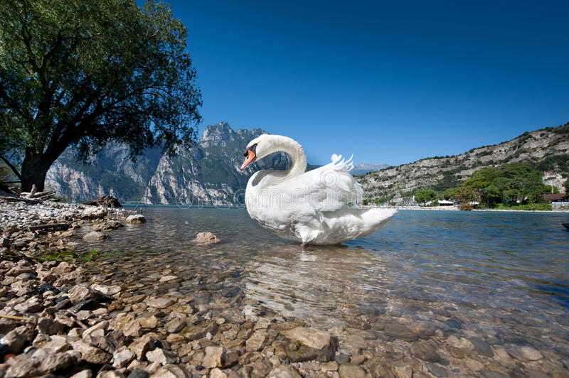 The swan lake royalty free stock photography