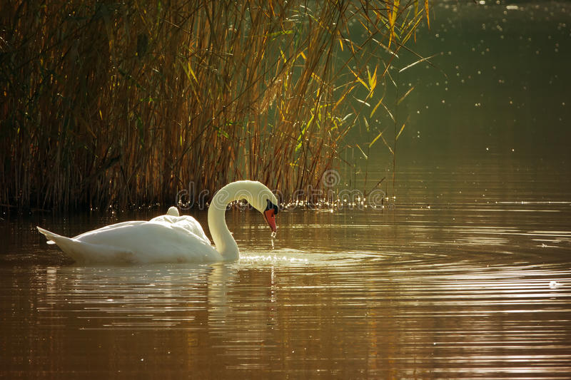 Download Swan on a lake stock image. Image of married, lake, romance - 21975085