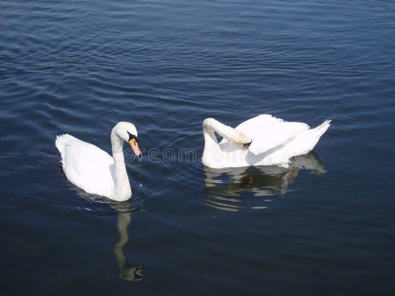 Swan lake fotografering för bildbyråer