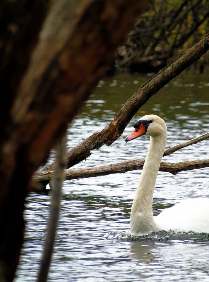 Swan lake 库存图片