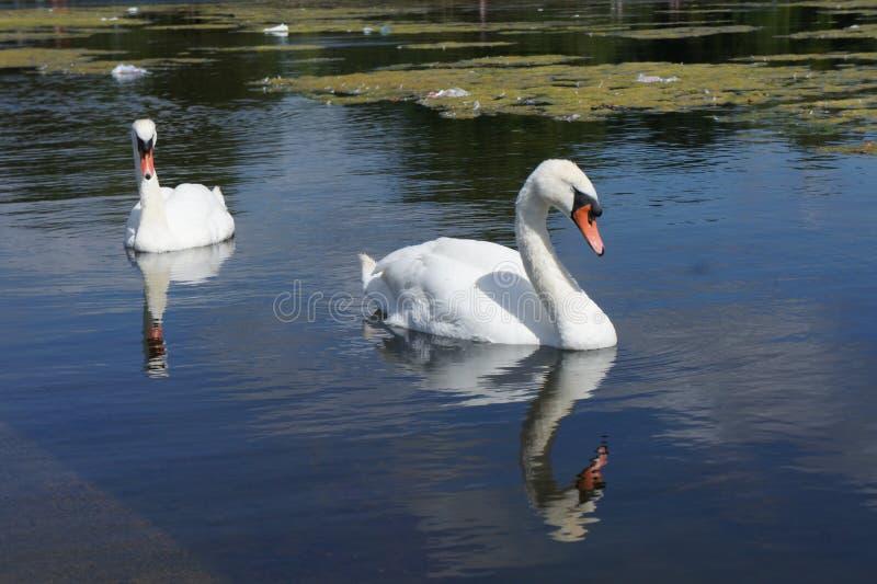 Swan lake 免版税图库摄影