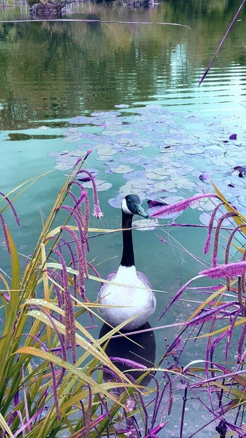 Swan lake 库存照片
