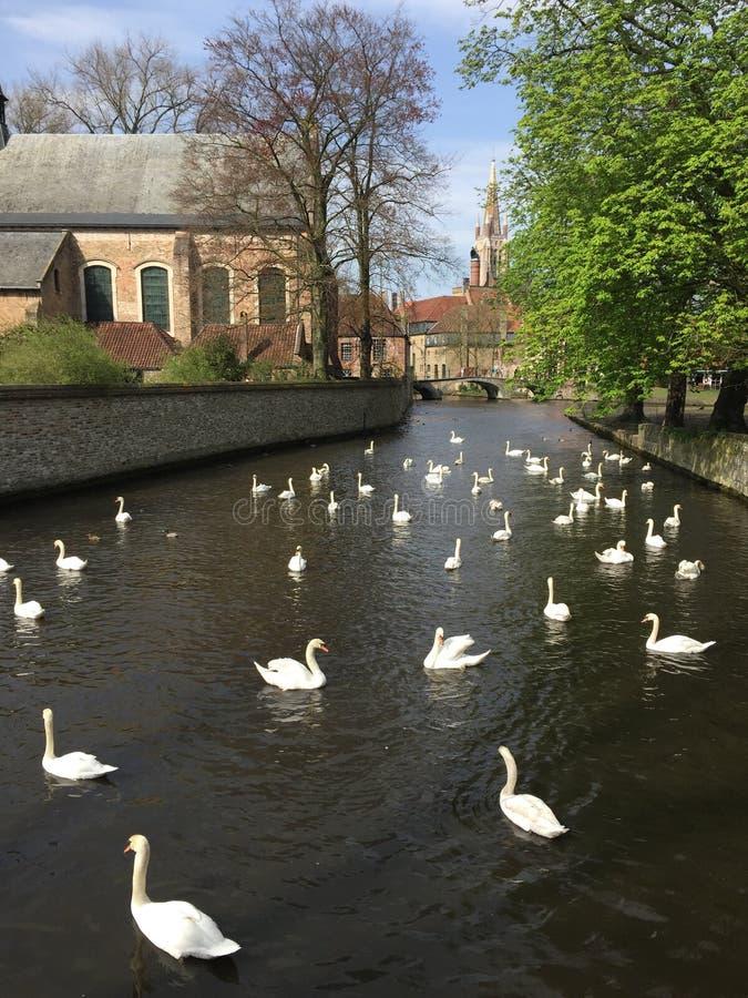 Swan in lake brugge belgium stock images