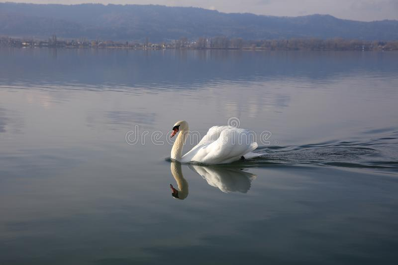 Swan on Lake Constance in Germany stock photography