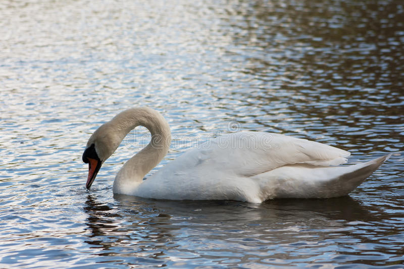 Download Swan On The Lake Stock Photo - Image: 83701286