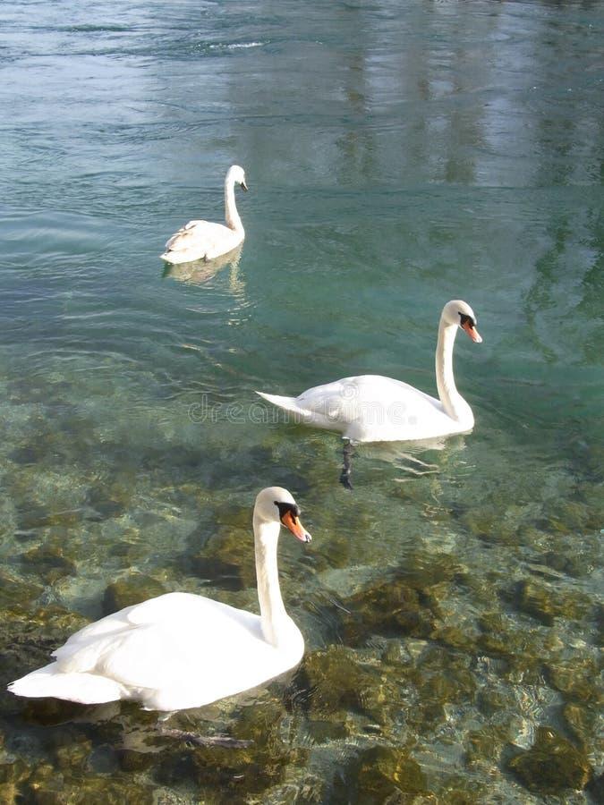 Swan lake geneva stock image