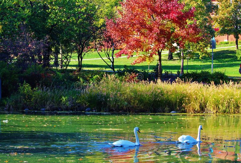 Swan, lake, and maple stock photos