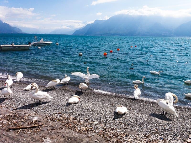 Swan, Lake och sky royaltyfria bilder
