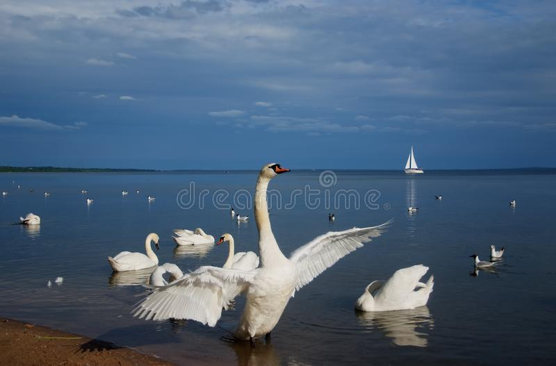 Swan Lake in the sanatorium White Russia royalty free stock photos