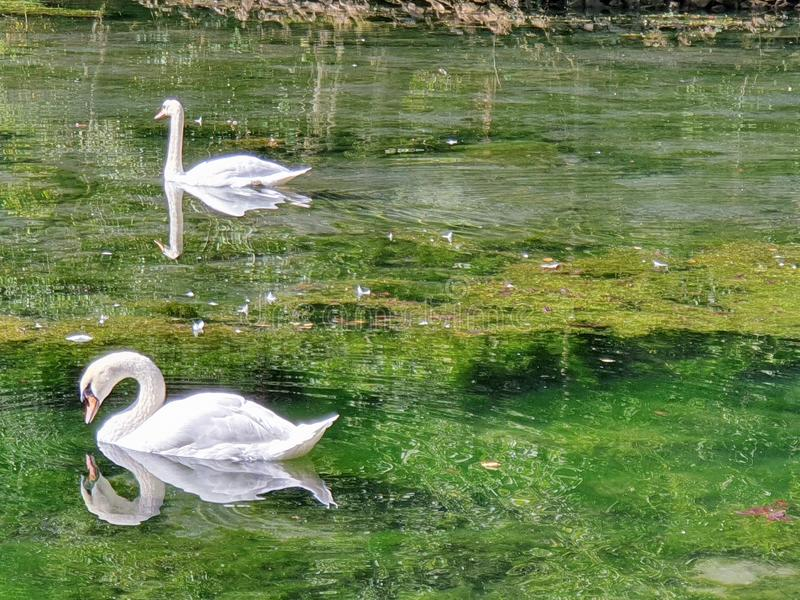 Swan in the lake. Of   in sarajevo. bosnia royalty free stock image