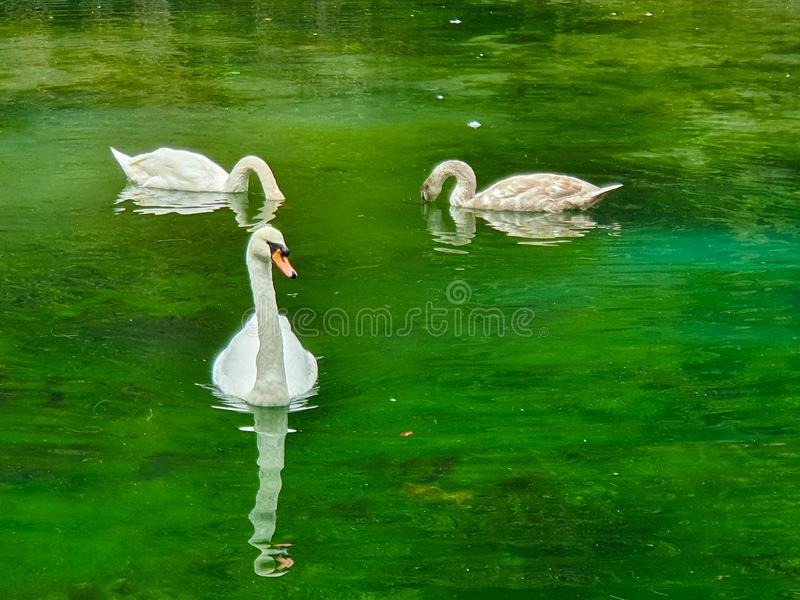 Swan in the lake. In sarajevo. Bosnia, water, green, nice, birds stock photography