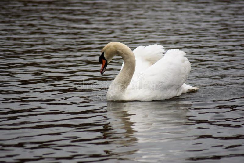 Swan on the lake stock photo
