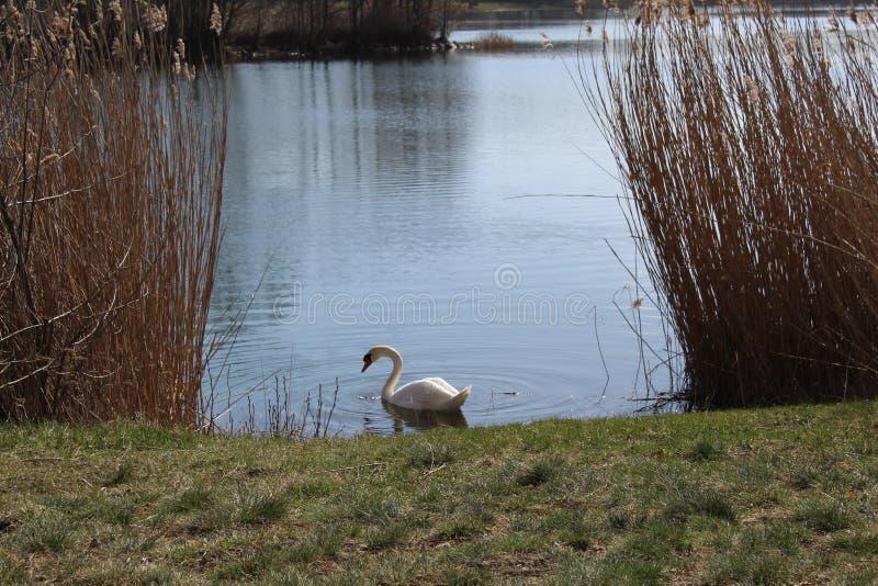 Swan on the lake royalty free stock photos