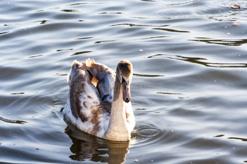Swan on lake water in sunset day, Swans on pond, nature series. royalty free stock photo
