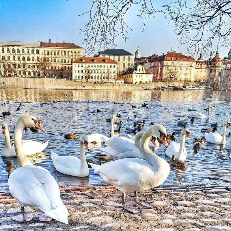 Swan at the lake, Birds, Buildings, Old city, Spring time royalty free stock image