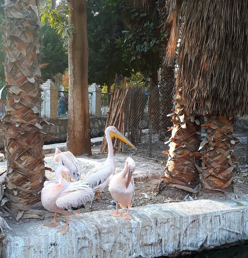 Swan lake at the zoo in Cairo. Egypt. Swan lake zoo cairo egypt royalty free stock photos