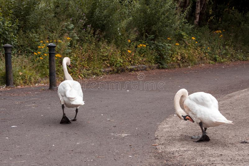 Swan Leads young Cygnets to another pond at night. In Scotland Glasgow stock photos