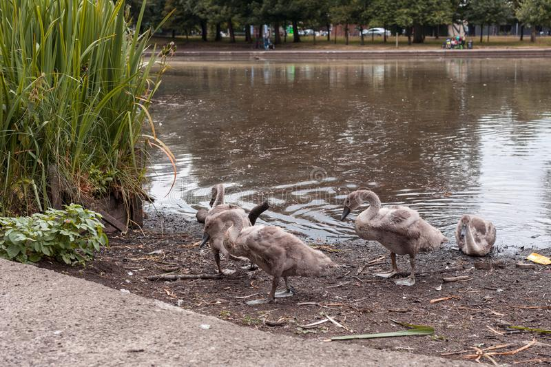 Swan Leads young Cygnets to another pond at night. In Scotland Glasgow royalty free stock photos