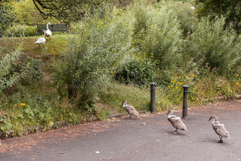 Swan Leads young Cygnets to another pond at night. In Scotland Glasgow royalty free stock photo