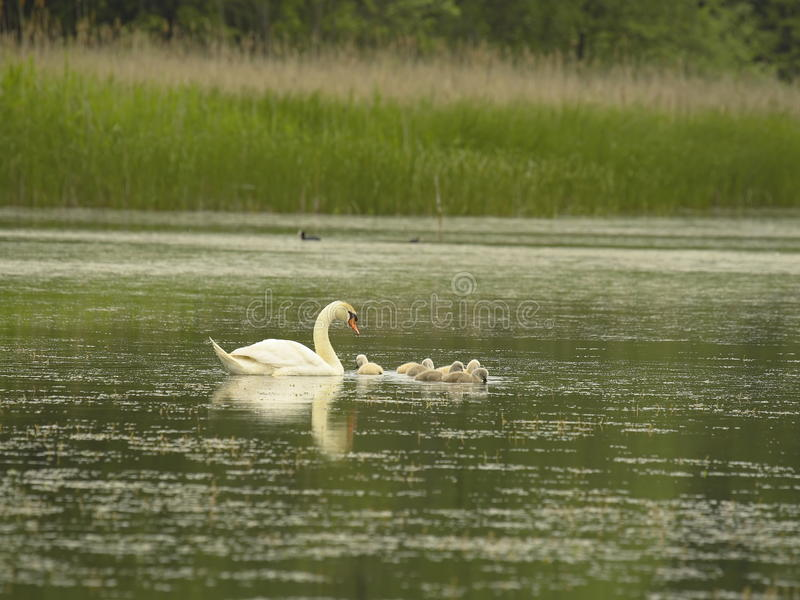 Download Swan with little stock image. Image of pond, grace, plumage - 15385615