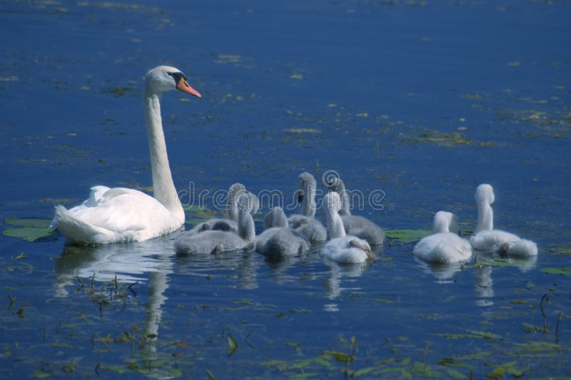 Swan with little swans stock photography
