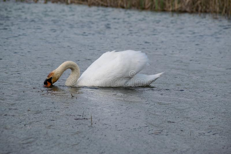 Swan looking for food. Swan in search of food in the shallow water of the lake stock image