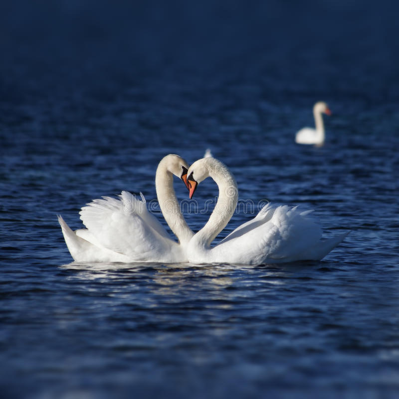 Swan Love royalty free stock photography