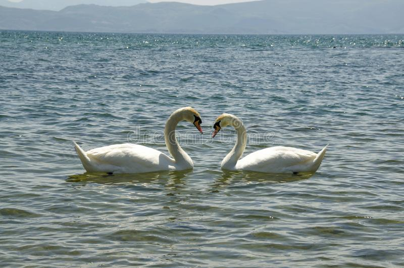 Swan Love - Two Swans stock images