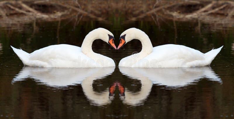 swan miłości fotografia royalty free