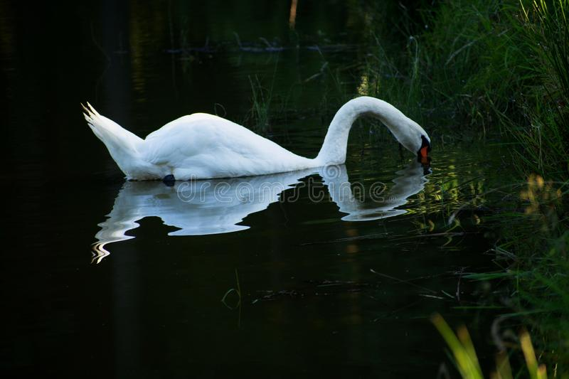 Swan mirroring on the surface of the pond royalty free stock images