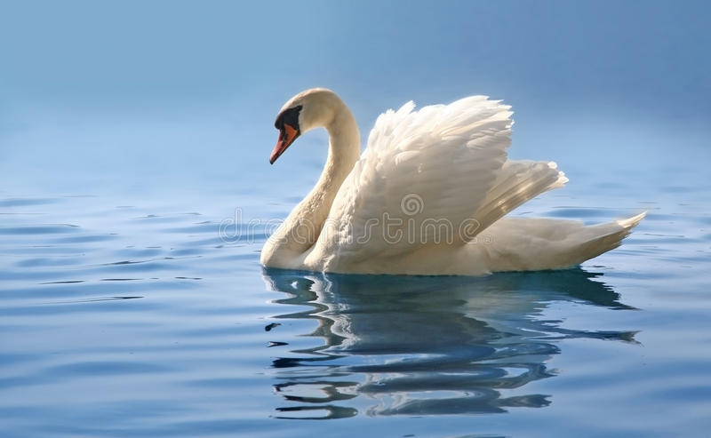 Swan on misty blue lake. Profile of swan displaying plumage on blue misty lake stock photo