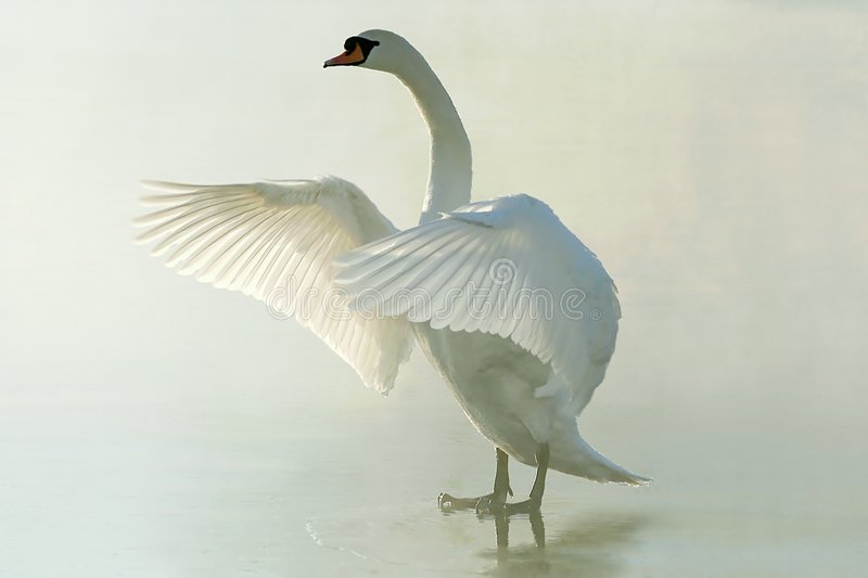 Swan on a misty frozen lake at sunrise royalty free stock photography