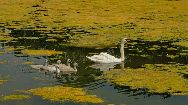 Swan mom and chicks swimming in a lake with duckweed royalty free stock photos