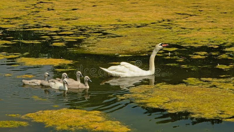 Swan mom and chicks swimming in a lake with lots of duckweed royalty free stock image