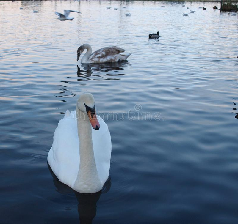 Swan in the morning stock image