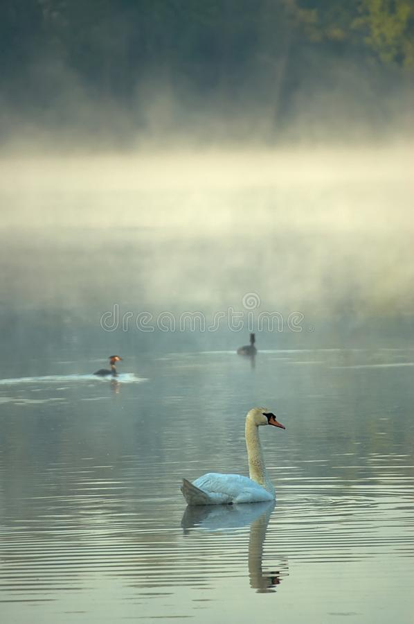 Swan the morning pond royalty free stock image