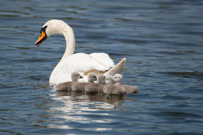 Swan mother with her children royalty free stock photos